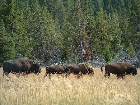Mary Mountain Trail - bison
